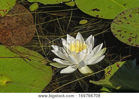 White Water Lily in a Pond in Quetico Provincial Park in Ontario
