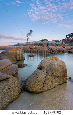 A lone tree stands tall at Binalong Bay in the Bay of Fires on the East Coast of Tasmania, Australia. The Bay of Fires stretches over 50 kilometres from Binalong Bay to Eddystone Point.