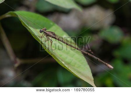 The Brown Damselfly (zygoptera)