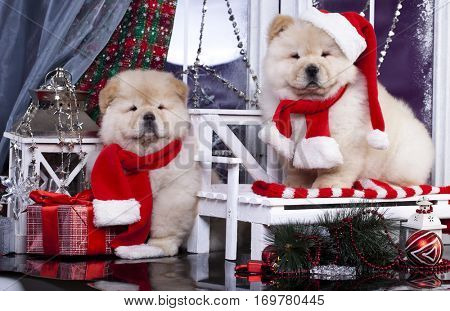 puppy christmas Chow chow dog