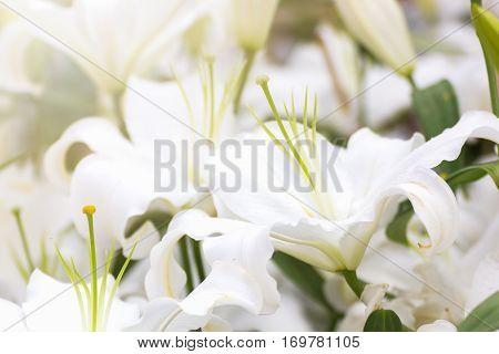 White Lily Flower In Garden