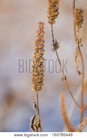 Agastache Foeniculum Seeds