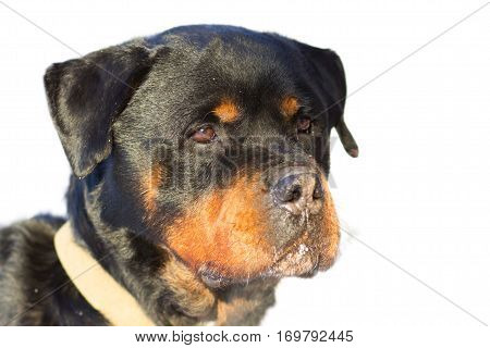 Dog Rottweiler named Bass isolated on white