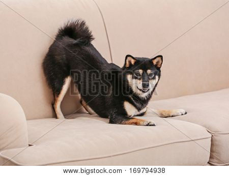 Cute little Shiba Inu dog playing on couch at home