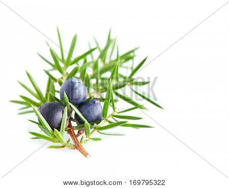 Juniper berry in closeup