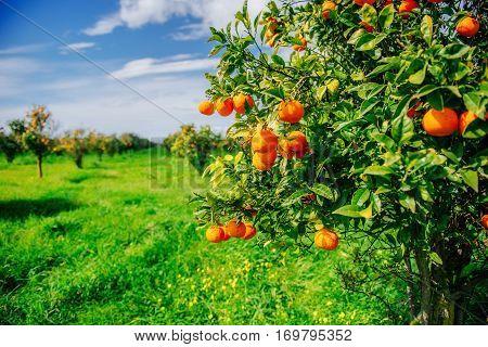branch orange tree. Beauty world. Sicily Italy Europe