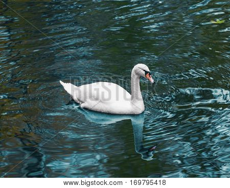 Beautiful white swan swimming in zoological garden pond