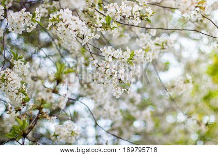 Flowers Cherry Branches
