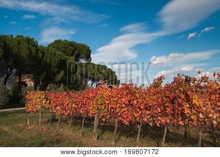 Typical rural landscape in the autumn season. Beautiful vineyard with colored leaves