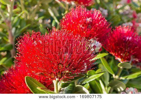 detail of red Pohutukawa tree flowerheads in bloom