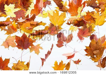 Autumn Leaves Are Falling. Maple Autumn Falling Leaves, Isolated On White Background.