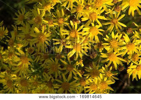 Yellow flowers of hypericum as a background