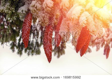 Fir-tree with big beautiful cones. New year.Sunlight