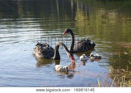 black swan with cygnets in the lake in northern of Thailand (Pang-Ung)
