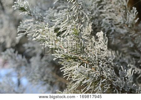 Coniferous Tree With Hoarfrost