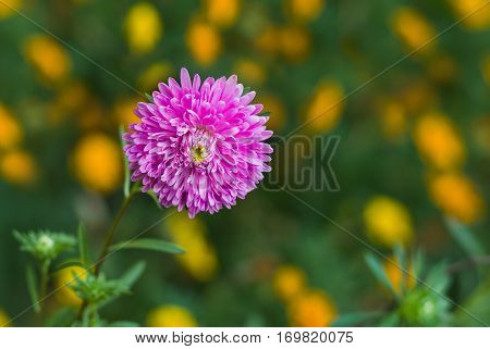 Beautiful Aster flower in a summer garden against motley background (Shallow DOF).