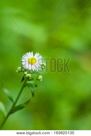 Vertical loneliness in chamomile family at summer season