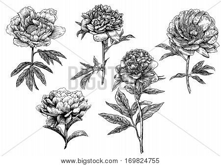 Peony flower illustration, drawing, engraving, line art, ink