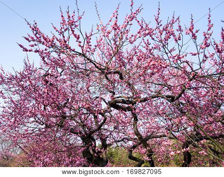 Blossoming plum tree in a Japanese garden