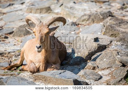 Mountain Goat Sitting On The Stones