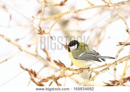 titmouse sitting on a branch of a poplar at the end of winter