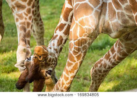 Playful Funny Giraffe
