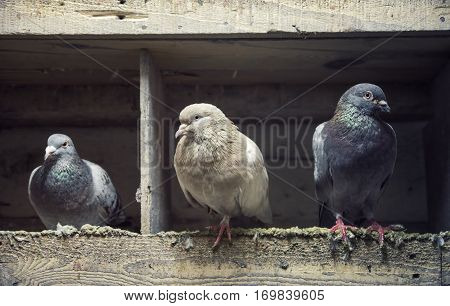 Three Different Pigeons Inside The Wooden Columbary