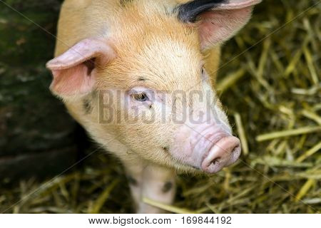 Portrait of a young pig in its sty.