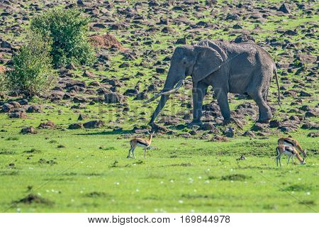 Browsing African elephant in Maasai-Mara national park, Kenya