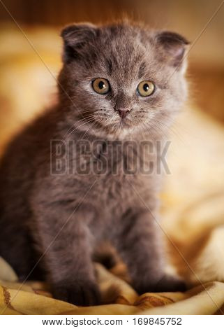 cute scottish little gray kitten sitting on the floor