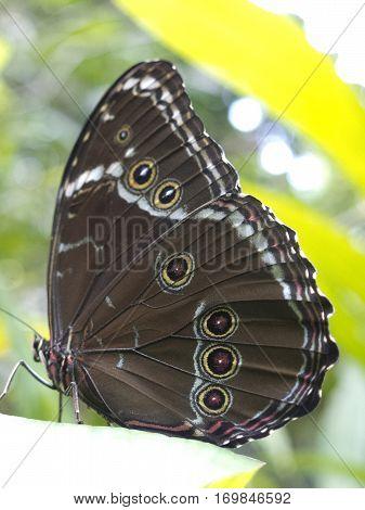 Owl Butterfly, Caligo Sp., In Amazon Rainforest.