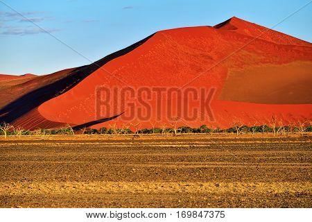 Beautiful landscape with big red dunes and trees at sunrise Sossusvlei Namib Naukluft National Park Namibia