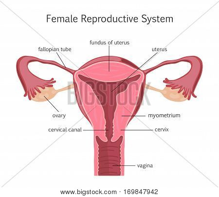 Female Reproductive System. Vector illustration flat design