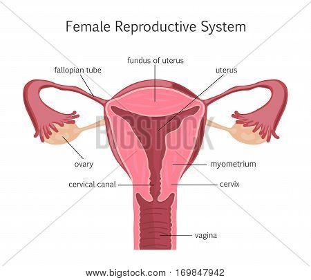 Female Reproductive System. Vector illustration flat design