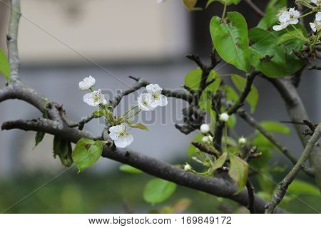 The Japanese Ume Apricot Tree, Prunus Mume