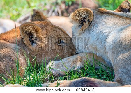 Tender lions or Panthera leo resting in shade of tree
