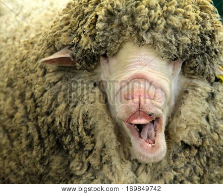Funny white sheep with open mouth portrait