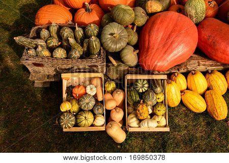 Harvesting Pumpkins For Halloween