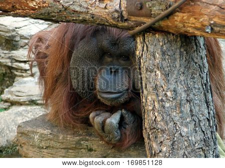 portrait of a male orangutan in the zoo