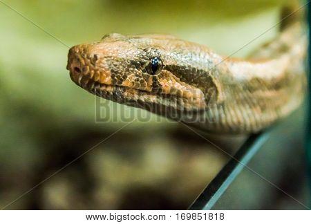 python crawling pyatnistay, reptile, snake, predator, portrait