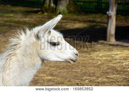 Cute Llama Farm in paddock. The head of white llamas.