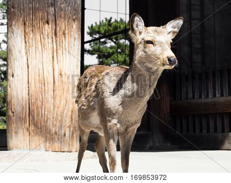 Deer at the entrance to Todaiji temple in Nara, Japan