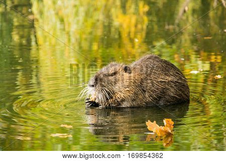 Muskrat Searching For Food In The Marches