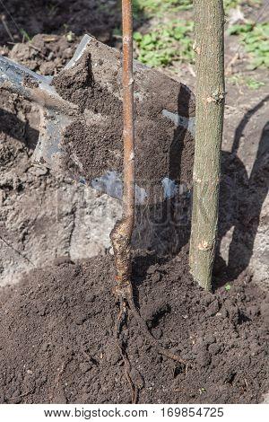 Planting Seedlings In Landing Pit