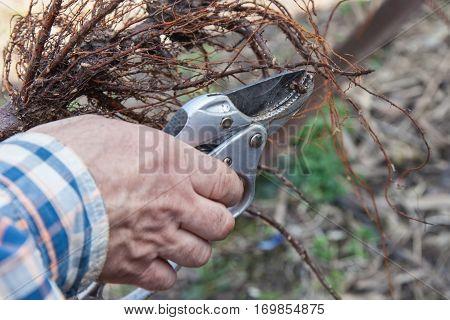 Pruning Root Seedlings Before Planting