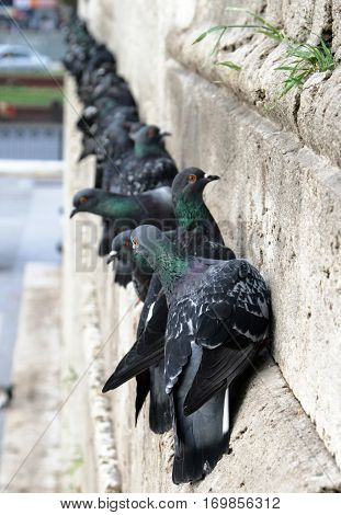 Feral Pigeons (columba Livia Domestica) On The Wall Of New Mosque, Istanbul, Turkey
