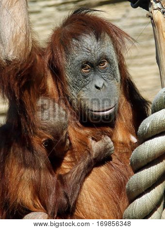 Female of Sumatran orangutan (Pongo abelii) with a baby