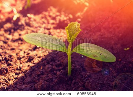 Sprouts Of A Plant Cucumber In Bright Light Of The Sun