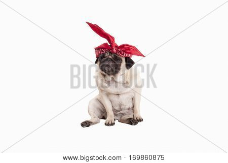 adorable pug puppy dog with red western scarf on head, isolated on white background