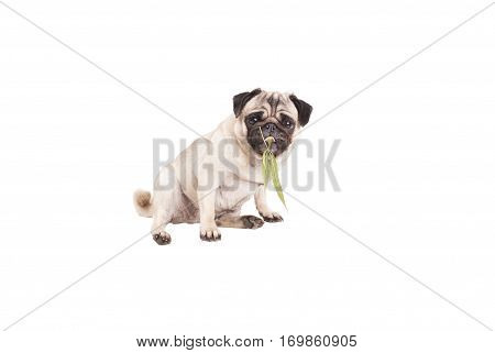 lovely pug dog puppy chewing on a weed, Cannabis sativa, leaf, isolated on white background